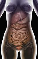 digestive system 11037009755| 写真素材・ストックフォト・画像・イラスト素材|アマナイメージズ
