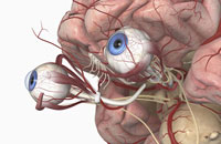 arteries of brain and eyes