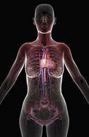 blood supply of upper body