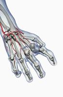 Arthritic Hand 11037010191| 写真素材・ストックフォト・画像・イラスト素材|アマナイメージズ