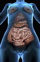 digestive system 11037010276| 写真素材・ストックフォト・画像・イラスト素材|アマナイメージズ