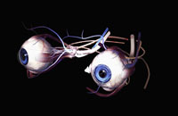 External anatomy of eyes