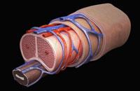 Internal structure of penis 11037010456| 写真素材・ストックフォト・画像・イラスト素材|アマナイメージズ