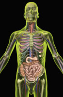 digestive and respiratory systems