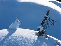Arctic hare 11044005949| 写真素材・ストックフォト・画像・イラスト素材|アマナイメージズ