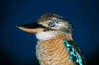 Australian Blue winged Kookaburra  close-up