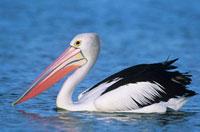 Australian Pelican on water