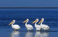 Four Pelicans wading in ocean