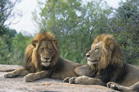 Two male Lions lying on rock