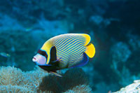 Emperor Angelfish over coral 11044008281| 写真素材・ストックフォト・画像・イラスト素材|アマナイメージズ