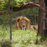 Lion  lies in shade of tree