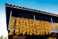 Corn cobs dry on balcony in Asturias  Spain
