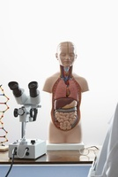 Human anatomy model and microscope