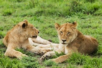 Female lions (Panthera leo) lying on grass