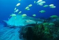 Sodwana Bay Indian Ocean South Africa Sand tiger shark (carc