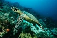 Raja Ampat Indonesia Pacific Ocean hawksbill turtle (eretmoc