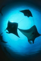 Raja Ampat Indonesia Pacific Ocean silhouettes of manta rays