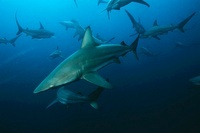Aliwal Shoal Indian Ocean South Africa blacktip sharks (Carc