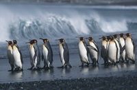 UK South Georgia Island colony of King Penguins marching on  11044017129  写真素材・ストックフォト・画像・イラスト素材 アマナイメージズ