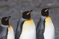 UK South Georgia Island three King Penguins standing side by 11044017130  写真素材・ストックフォト・画像・イラスト素材 アマナイメージズ