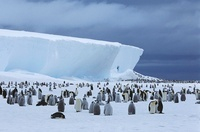 Emperor Penguin (Aptenodytes forsteri) colony and iceberg