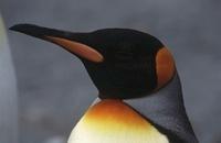 Close-up of King Penguin (Aptenodytes patagonicus) 11044017153  写真素材・ストックフォト・画像・イラスト素材 アマナイメージズ