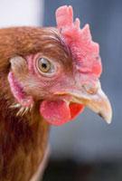 Head of a live hen