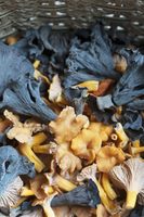 Freshly Foraged Black Trumpets and Yellow Foot Chanterelles in a Basket