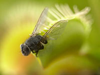 Close up of fly caught in venus flytrap