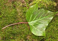 Green leaf lying on moss