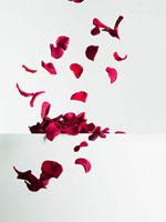 Red rose petals falling