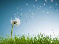Dandelion seeds blowing from stem 11055013757| 写真素材・ストックフォト・画像・イラスト素材|アマナイメージズ