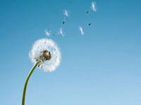 Dandelion seeds blowing from stem 11055013766| 写真素材・ストックフォト・画像・イラスト素材|アマナイメージズ