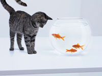 Curious cat watching goldfish in fishbowl