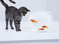 Curious cat watching goldfish in fishbowl 11055013785| 写真素材・ストックフォト・画像・イラスト素材|アマナイメージズ