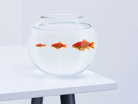Sequence of large, medium and small goldfish in fishbowl