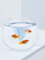 Goldfish struggling in fishbowl with whirlpool