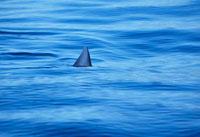 Shark swimming in ocean water
