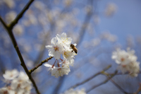 Close up of bee on white cherry blossom