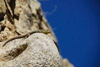岩の上にのるトカゲ