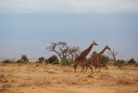 草原を走る2頭のキリン 11069009142| 写真素材・ストックフォト・画像・イラスト素材|アマナイメージズ