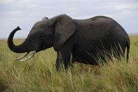 アフリカゾウ 11069009143| 写真素材・ストックフォト・画像・イラスト素材|アマナイメージズ