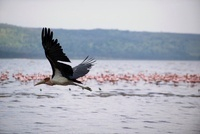 マニャラ湖の上を飛ぶペリカン
