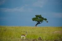セレンゲティ国立公園 11069009148| 写真素材・ストックフォト・画像・イラスト素材|アマナイメージズ