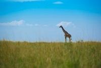 草原にたたずむキリン