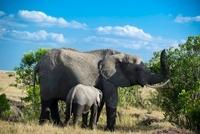 象の親子 11069009157| 写真素材・ストックフォト・画像・イラスト素材|アマナイメージズ