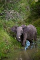 水辺を歩く象