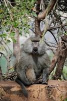 セレンゲティ国立公園のヒヒ 11069009160| 写真素材・ストックフォト・画像・イラスト素材|アマナイメージズ
