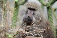 セレンゲティ国立公園のヒヒ