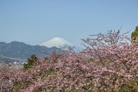 松田山、神奈川県、松田町、富士山、サクラ、カワズザクラ